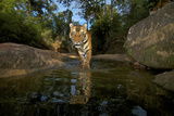 A Camera Trap Captures A Tiger Cub At A Waterhole