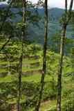 Terraced Rice Paddies Around Gangtok  India
