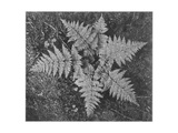 "Of Ferns From Directly Above ""In Glacier National Park"" Montana 1933-1942"