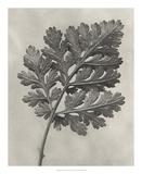 Blossfeldt Botanical III