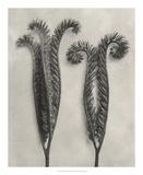 Blossfeldt Botanical II