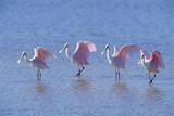 Roseate Spoonbill Four Juveniles (Platalea Ajaja) Sanibel Is  Florida  US Ding Darling