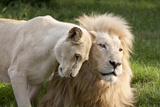 A White Lion Males Stares To The Right While A Lioness Nuzzles Him And Shows Affection