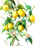 Lemon Tree 3
