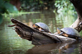 Costa Rica  Tortuguero National Park  Canals and Rainforest Turtles Sunbathing