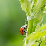 Macro of Ladybug (Adalia Bipunctata) Eating Aphids