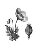 Opium Poppy or Papaver Somniferum  Vintage Engraved Illustration Trousset Encyclopedia (1886 - 189