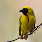 Perched Breeding Male (Southern) Masked Weaver  Ploceus Velatus