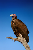 Lappetfaced Vulture against Blue Sky (Torgos Tracheliotus) South Africa