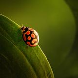 Ladybug (Ladybird) Crawling on the Edge of a Green Leaf