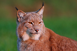 Detail Portrait of Lynx  with Beautiful Evening Light Wildlife Scene with Wild Cat from Europe Wi