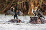 African Darter  Anhinga Rufa  Sitting on the Back of Hippopotamus