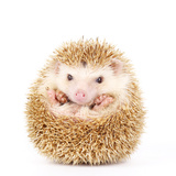Four-Toed Hedgehog  Atelerix Albiventris  Balled up in Front of White Background