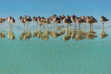 Group of Willets Reflection on the Beach Florida's Wildlife