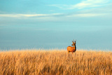A Mule Deer Buck Stands in a Tall Bed of Grass and Looks into the Autumn Sun on the Great Plains