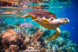 Hawksbill Turtle - Eretmochelys Imbricata Floats under Water Maldives Indian Ocean Coral Reef