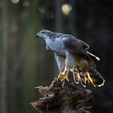 Goshawk is Sitting on the Tree Stump  Close-Up