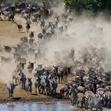 Big Herd of Wildebeest is about Mara River Great Migration Kenya Tanzania Masai Mara National P