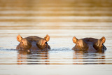 Two Common Hippopotamus in the Water at a Watering Hole in Kruger National Park  South Africa
