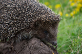 Cool Hedgehog on the Ground at Nature Summer Wildlife