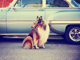 A Collie Posing for the Camera in Front of a Classic Car during a Hot Summer Day with Goggles on Of