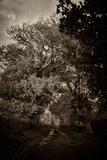 Suffolk Oak Trees