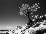 Lone Cypress  (infrared)  Monterey  California 80