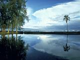 Palm Tree Alone  Big Island  Hawaii