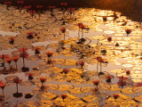 L'étang aux lotus Reproduction d'art par Bruno Baumann