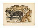 Animaux d'Afrique  Panthere