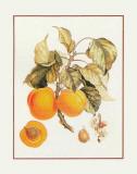 Abricot Peche