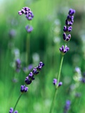 Lavender Flower Spikes