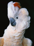 Cockatoo Displaying Crest