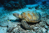 Green Turtle on Sea Floor