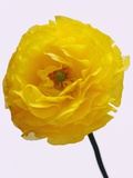 Blooming Yellow Ranunculus