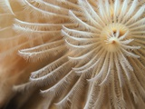 White Christmas Tree Worm