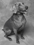 Panting Weimaraner Sitting Obediently