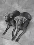 Two Panting Weimaraners Lying Side by Side
