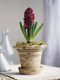Purple Amaryllis in White Pot