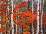 White Birch and Maple Trees in October