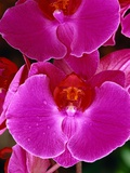 Pink Orchids with Dew Drops