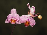 Phalenopsis Carmelas Gem