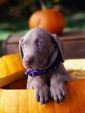 Weimaraner Puppy Inside Pumpkin