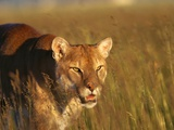 Mountain Lion Roaming in Field