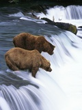Brown Bears Fishing at Brooks Falls