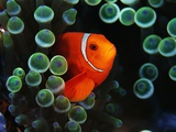 Spine-Cheek Anemonefish and Sea Anemone
