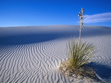 Soaptree Yucca Plant on Sand Dune