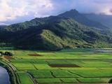 Taro Fields in Valley on Kauai