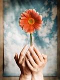 Hands Holding a Gerbera Daisy