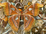 Atlas Moth Above Other Moths and Butterflies